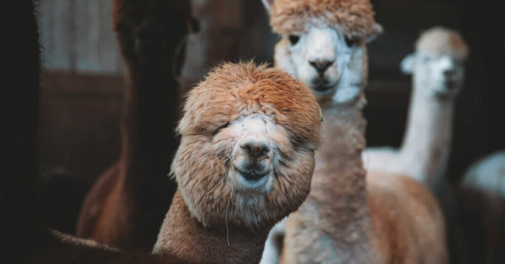 alpaca-link-building-emails