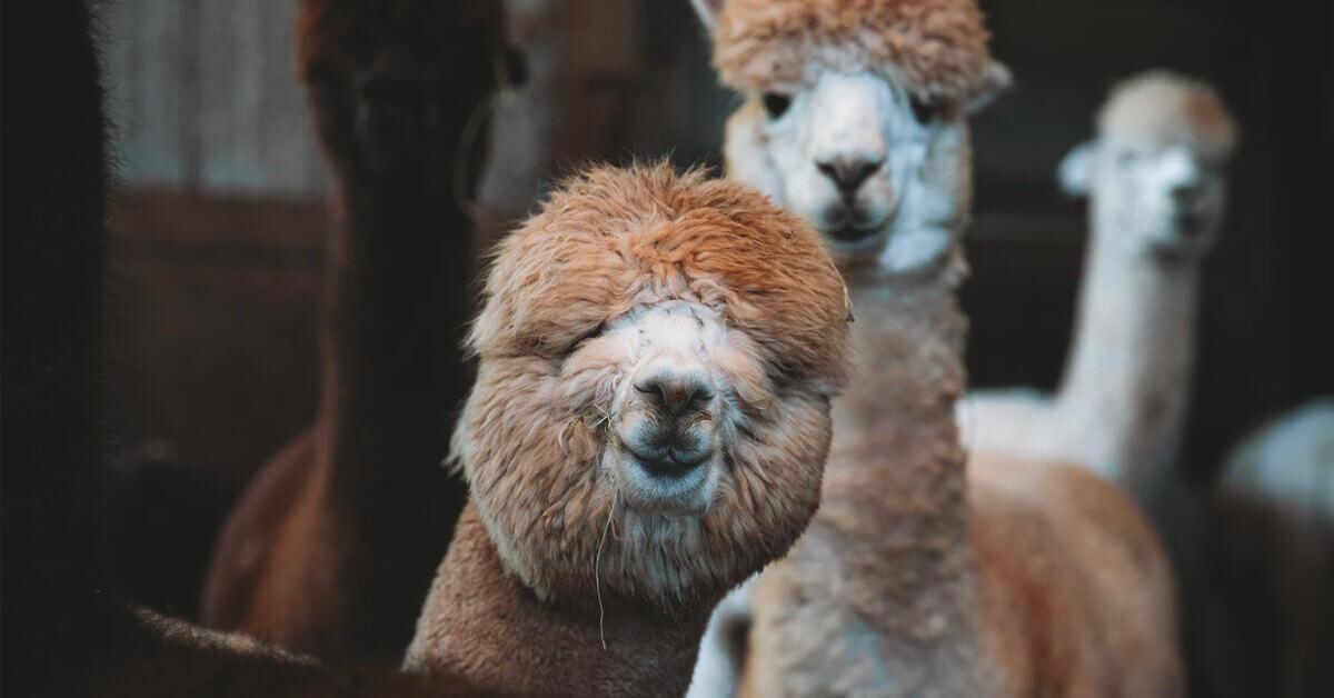 alpaca-link-building-email